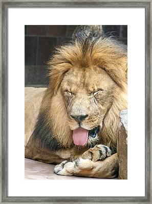 Lion Sticking Out Tongue Framed Print