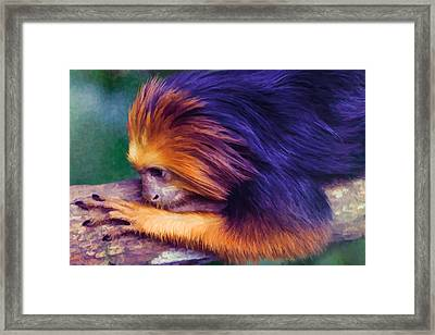 Lion Tamarin Framed Print