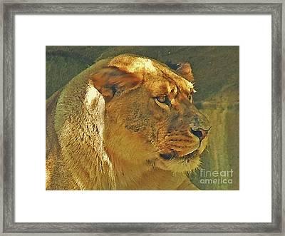 Lioness 2012 Framed Print