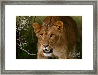 Lioness Framed Print by Alison Kennedy-Benson