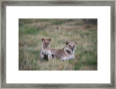Lioness And Cub Interacting In Grass Framed Print by Sheila Haddad