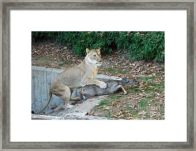 Framed Print featuring the photograph Lioness And Deer by Eva Kaufman