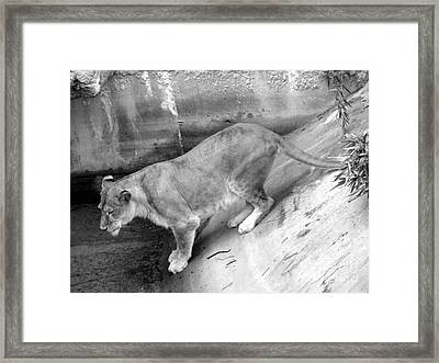 Framed Print featuring the photograph Lioness Black And White by Joseph Baril