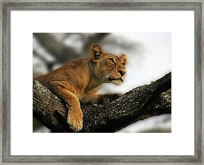 Lioness Framed Print by Christine Sponchia