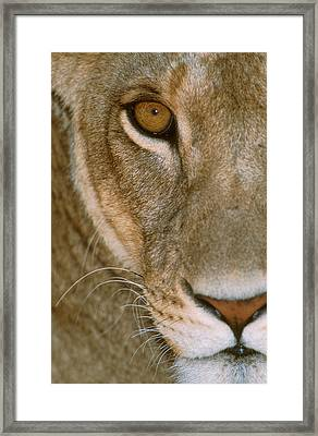 Lioness Close-up Tanzania Africa Framed Print by Panoramic Images