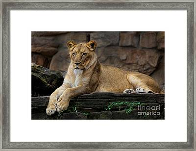 Lioness Framed Print by D Wallace