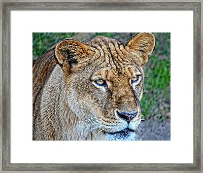 Lioness Deep In Thought Hdr Framed Print