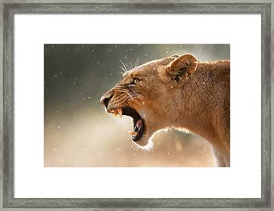 Lioness Displaying Dangerous Teeth In A Rainstorm Framed Print
