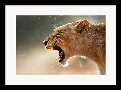 Lioness Framed Prints