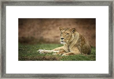 Lioness Framed Print by Kim Andelkovic