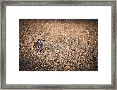 Lioness  Framed Print by Mesha Zelkovich