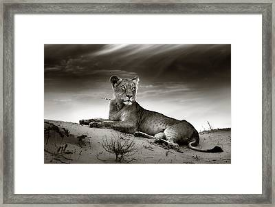 Lioness On Desert Dune Framed Print by Johan Swanepoel