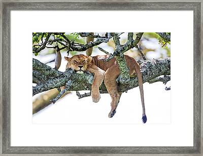 Lioness Panthera Leo Framed Print by Photostock-israel
