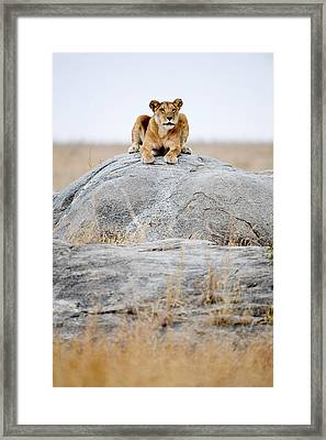 Lioness Panthera Leo Sitting On A Rock Framed Print by Panoramic Images