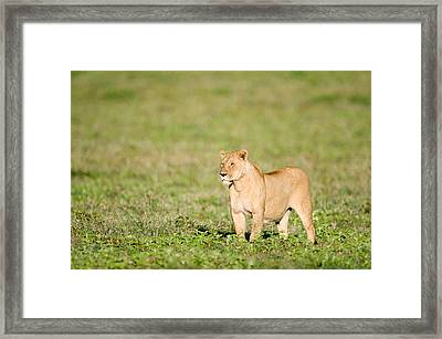Lioness Panthera Leo Standing Framed Print by Panoramic Images