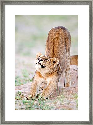 Lioness Panthera Leo Stretching Framed Print by Panoramic Images