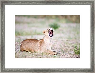 Lioness Panthera Leo Yawning Framed Print