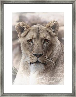 Lioness Portrait Framed Print by D Wallace