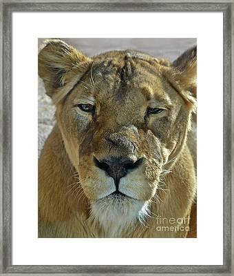 Lioness Portrait Framed Print