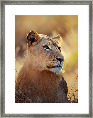 Lioness Portrait Lying In Grass Framed Print