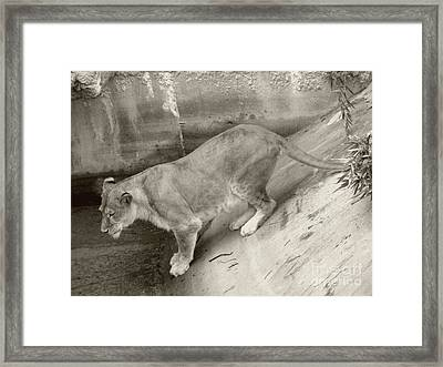 Framed Print featuring the photograph Lioness Sepia by Joseph Baril