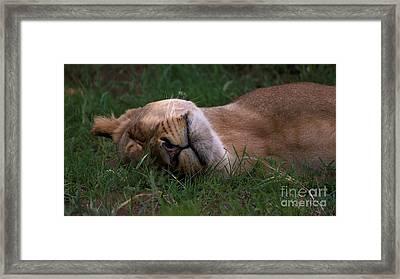 Lioness Sleeps Tonight Framed Print