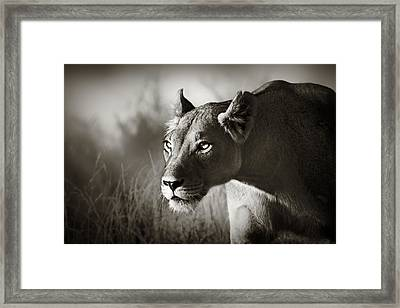 Lioness Stalking Framed Print by Johan Swanepoel