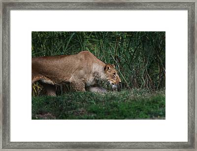 Framed Print featuring the photograph Lioness Stalking by Joseph G Holland