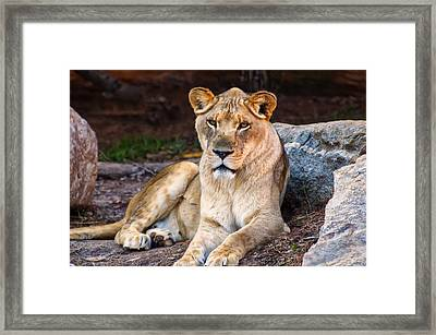 Lioness Stare Framed Print by Chris Flees