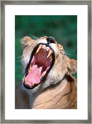 Lioness Tanzania Africa Framed Print by Panoramic Images