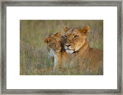 Lioness With Cub At Dusk In Ol Pejeta Framed Print by Ian Cumming