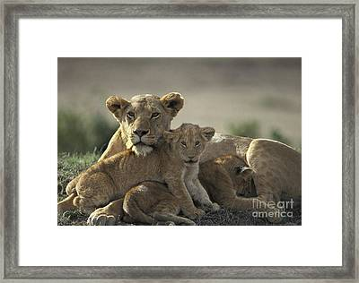 Lioness With Cubs Framed Print