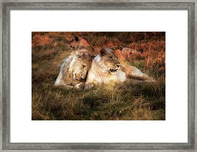 Lioness With Juvenile Male Nuzzling Framed Print