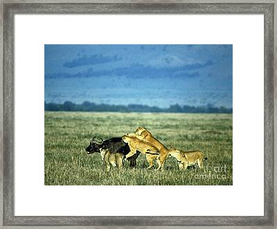 Lionesses Attack African Buffalo Framed Print by Mark Newman