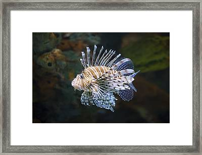 Lionfish - Gatlinburg Tn Ripleys Aquarium Framed Print by Dave Allen