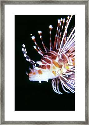 Lionfish 3 Framed Print by Dawn Eshelman