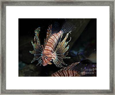 Lionfish 5d24143 Framed Print by Wingsdomain Art and Photography