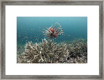 Lionfish Hunting Framed Print by Ethan Daniels