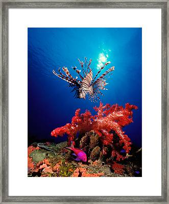 Lionfish Pteropterus Radiata Framed Print