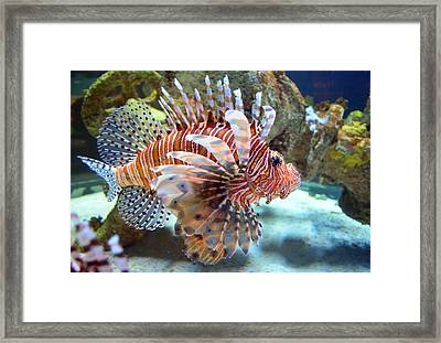 Lionfish Framed Print by Sandi OReilly