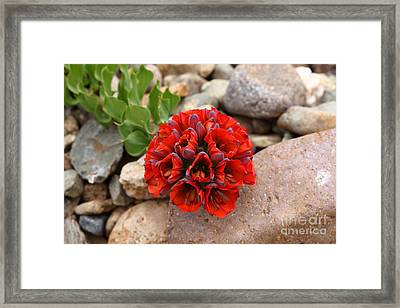 Lions Claw Flower Framed Print
