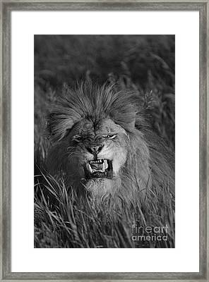 Lions Courage Framed Print by Wildlife Fine Art