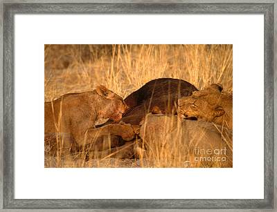 Lions Eating Buffalo Framed Print by Art Wolfe