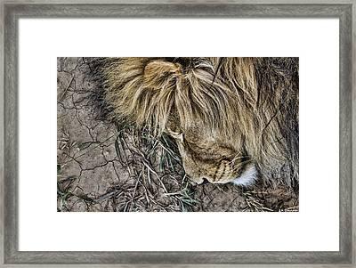 Lions Mane Framed Print