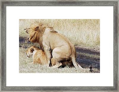 Lions Mating Framed Print
