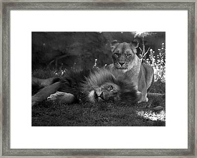 Lions Me And My Guy Framed Print by Thomas Woolworth