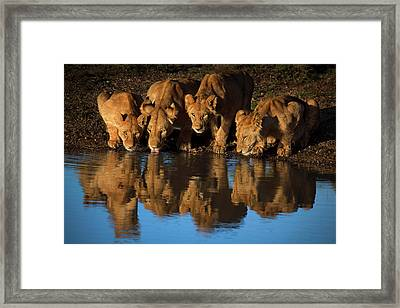 Lions Of Mara Framed Print
