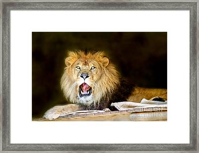 Lion's Pride Framed Print by Shannon Rogers