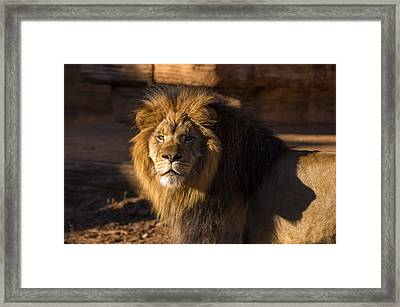Lions Stare Framed Print by Chris Flees