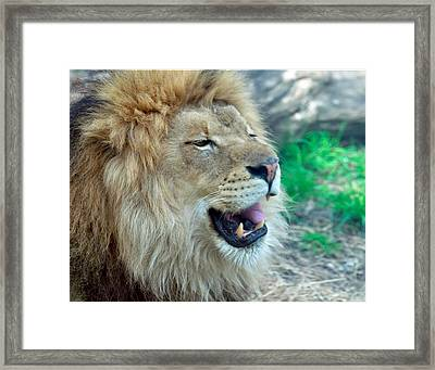 Lions Teeth Framed Print by Chris Flees